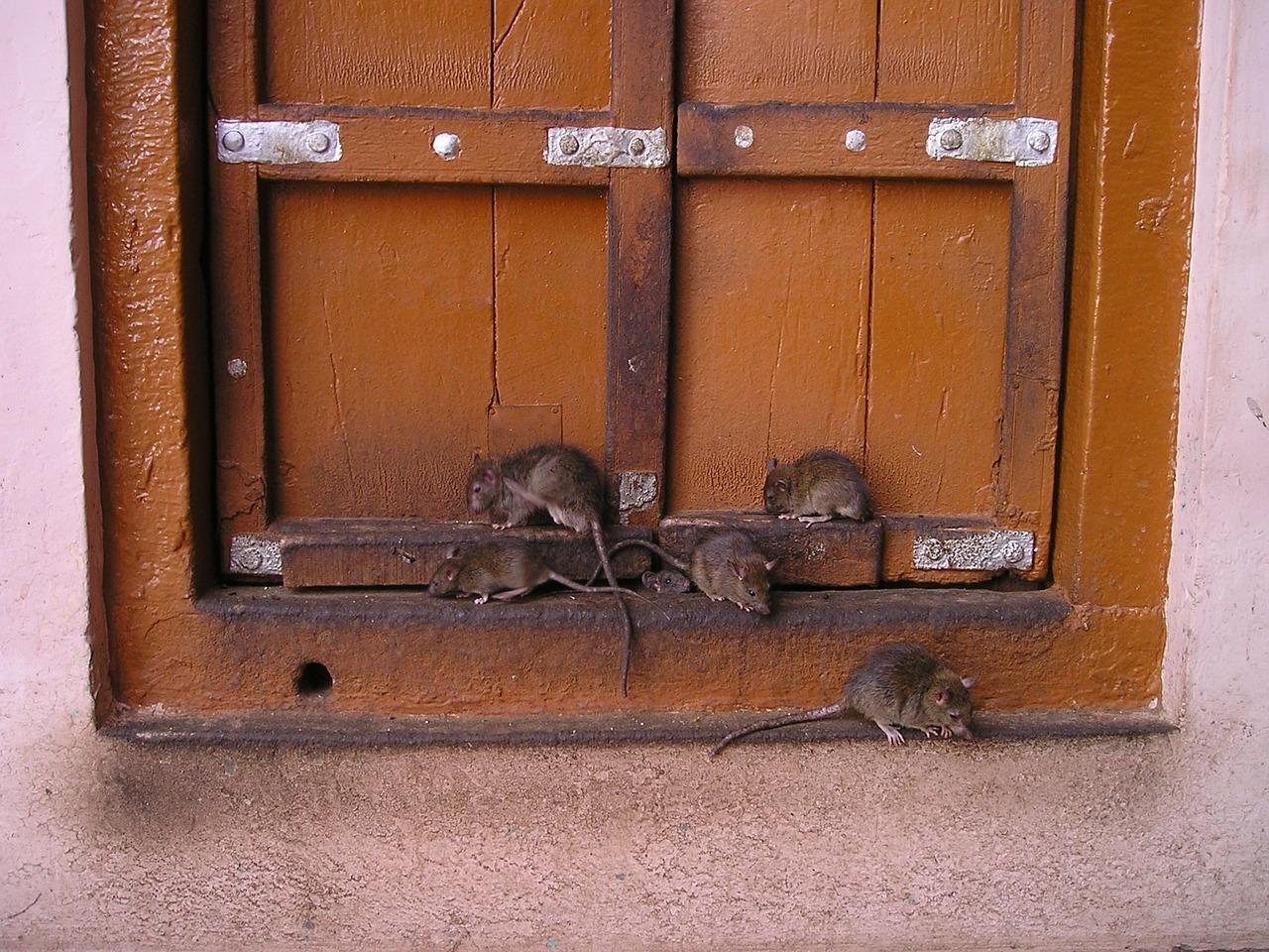 rat-357_1280