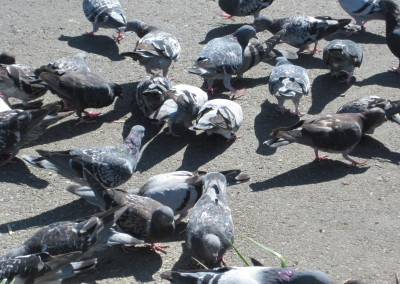 Feral_pigeons_feeding_in_Redwood_City_3