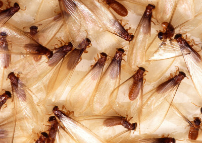 10865-fomosan-termite-alates-pv