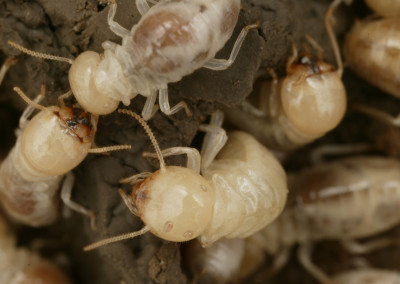 Termites & White Ants Control - Service Master