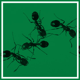 Ant Control - Common Pests & Pest Control - Service Master