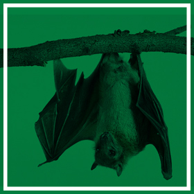 Bat Proofing & Control - Common Pests & Pest Control - Service Master
