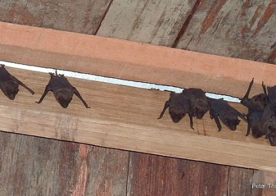 bats-in-our-roof-paramaribo