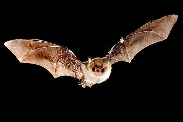 bat control bat proofing bat removal roof bats service master - Picture Of A Bat