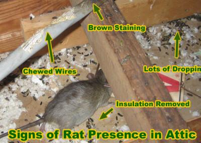 rat-presence