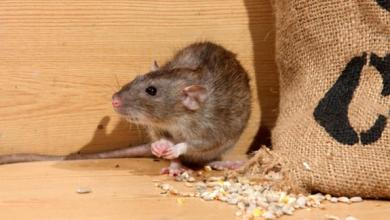 Commercial & Industrial Pest Control - rat - Service Master