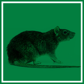 Rodent Control - Common Pests & Pest Control - Service Master