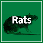 Rats and Mice Durban - Pest Control Durban - Service Master Image