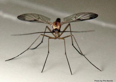 fly_thread_horns__suborder_nematocera