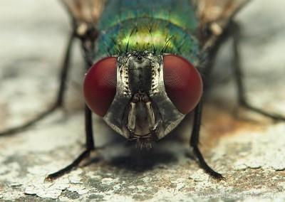 green-bottle-fly-face