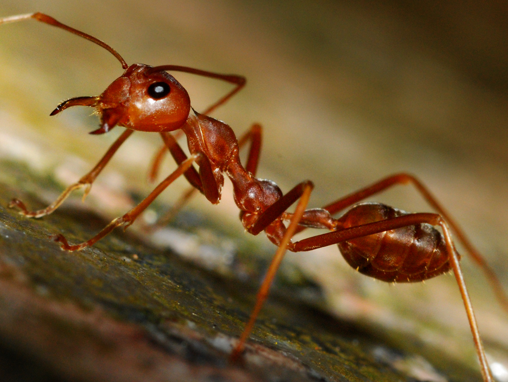 large-picture-ant