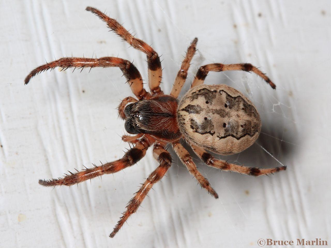 Furrow-Spider-1280-x-960