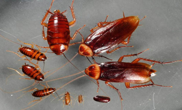 How-Many-Babies-Does-A-Cockroach-Have-630×380