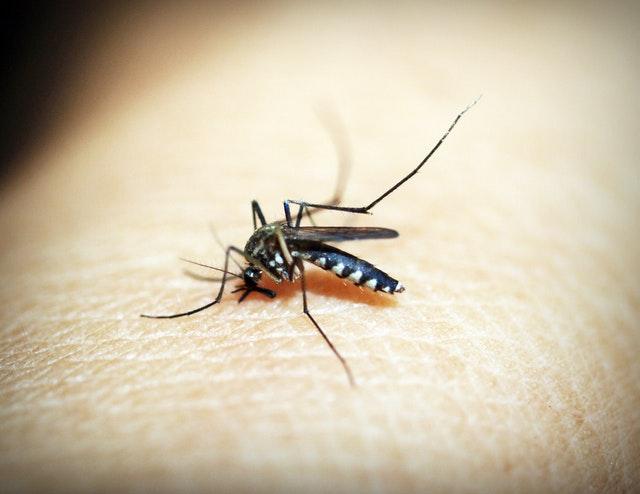 mosquito durban