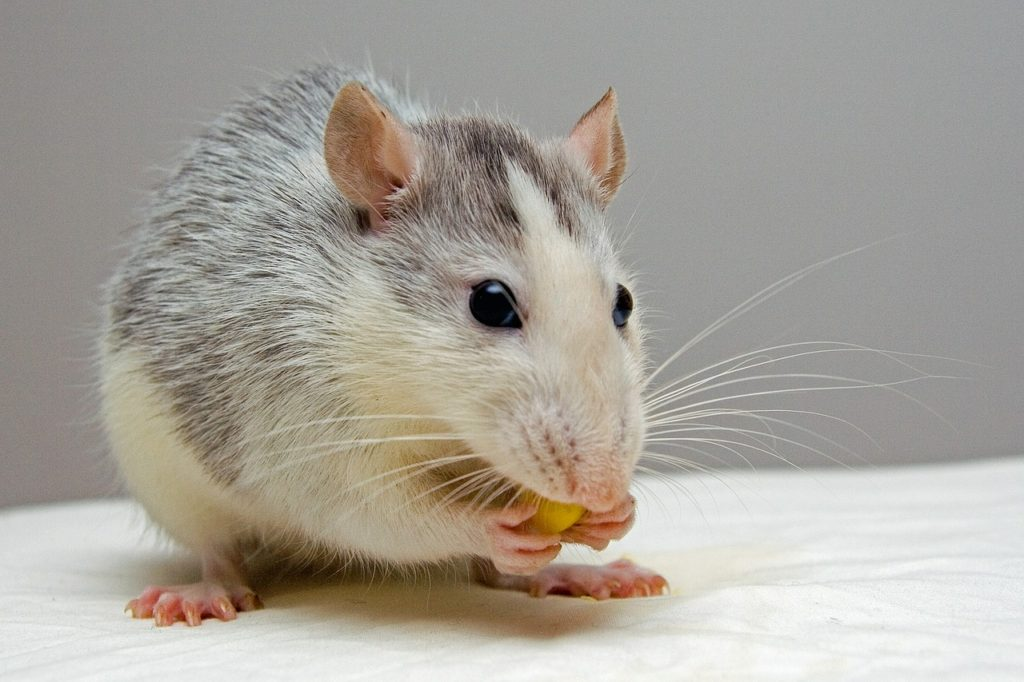 Rodent Control Services In Kwa Zulu Natal Service Master Durban